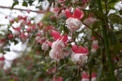 Fascinerende fuchsia in tuin   Royalty-vrije Stock Foto's