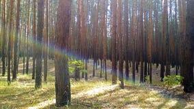 Fascio iridescente nel legno immagine stock