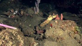 Fasciolatus d'Uropterygius de moray de Blotched pendant la nuit dans le corail artificiel en mer Dumaguete de zoulou clips vidéos