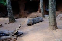 Fascolomo em animais selvagens Sydney Zoo imagens de stock royalty free