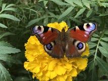 Fascynujący motyl na żółtym kwiacie zdjęcia stock