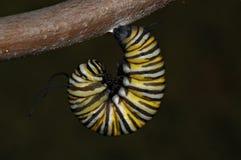 Fase del monarca J Fotografia Stock