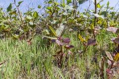 Fase della pianta della primavera Fotografia Stock Libera da Diritti