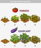 Fase delle verdure di crescita Pomodoro e melanzana Fotografie Stock Libere da Diritti