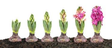 Fase di crescita del giacinto isolata su fondo bianco Fotografia Stock