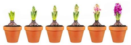 Fase do crescimento do jacinto isolada no fundo branco Flores em uns vasos de flores da argila Fotografia de Stock