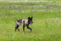 A fase preta Grey Wolf (lúpus de Canis) trota certo através do campo Fotografia de Stock Royalty Free