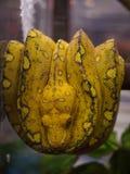 Fase verde di giallo del pitone dell'albero Fotografie Stock