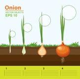 Fases de crecimiento de una cebolla en el jardín Crecimiento, desarrollo y productividad de la cebolla Etapa del crecimiento libre illustration