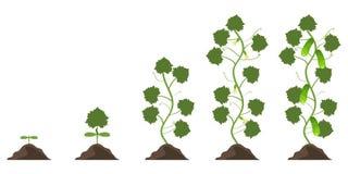 Fases de crecimiento de un pepino Fases de vegetación de un pepino libre illustration