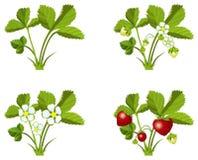 Fases de crescimento da morango Imagens de Stock Royalty Free