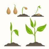 Fases de crescimento do ciclo de vida da evolução da planta Fotos de Stock