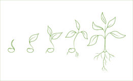 Fases de crescimento vegetal do feijão-roxo Fotografia de Stock Royalty Free