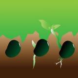 Fases do crescimento da planta Foto de Stock