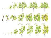 Fases do crescimento da planta da uva Vinhedo que planta fases do aumento Ilustra??o do vetor Vitis - vinifera colheu Per?odo de  ilustração royalty free