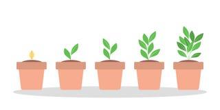 Fases do crescimento vegetal verde no potenciômetro ilustração stock