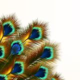 Fashion background with peacock feathers Royalty Free Stock Photography
