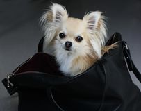 Fashion chihuahua Stock Photo