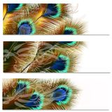 Fashion colorful backgrounds set with peacock feathers Royalty Free Stock Images