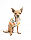 Fashion dog. A tiny chihuahua in a sporty shirt Stock Photos