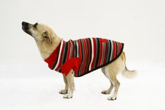 Fashion Dog  Stock Photography