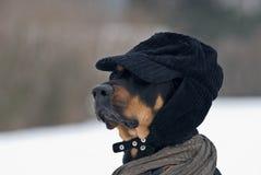 Fashion dog Stock Photos