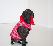 Fashion dog. Pretty dog dressed in a fashionable red outfit Royalty Free Stock Photography