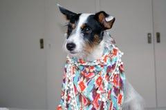 Fashion dog. Soda shows her new design Royalty Free Stock Photos