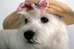 Fashion maven. White West Highland Terrier with a fancy spring straw hat on Stock Photo