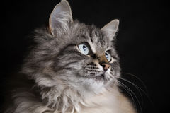 Fashion portrait of a cat on a black background Stock Photo