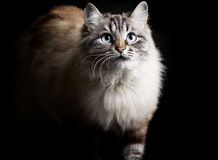 Fashion portrait of a fluffy Siamese cat with blue eyes gracefully emerging from the darkness Stock Photography