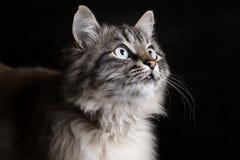 Fashion portrait of a Siamese cat facing upward. Fashion portrait of a fluffy Siamese cat with blue expressive eyes facing upward Stock Photo
