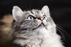 Fashion portrait of a Siamese cat facing upward Royalty Free Stock Images