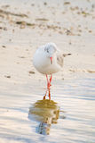 A fashion seagull. A little seagull looks in reflection in water Stock Images