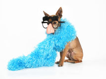 Fashion statement. A tiny chihuahua wearing a blue boa Stock Images