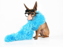 Fashion statement. A tiny chihuahua wearing a blue boa Royalty Free Stock Image