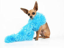 Fashion statement. A tiny chihuahua wearing a blue boa Stock Photography