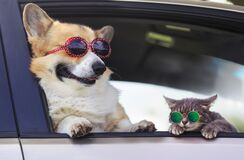 Free Fashionable And Funny Dog and Cat In Sunglasses Leaned Out Of The Car Window During A Vacation Trip Royalty Free Stock Images - 194608989