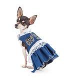 Fashionable Chihuahua Dog Wearing A Beautiful Blue Dress Stock Photos
