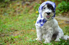 Fashionable dog with blue head scarf Stock Photo