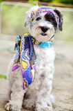 Fashionable dog with handkerchief Stock Photo