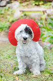 Fashionable dog with red hat Royalty Free Stock Photo