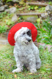 Fashionable dog with red hat Royalty Free Stock Images