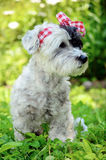 Fashionable dog with red ribbon Royalty Free Stock Photos
