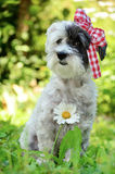 Fashionable dog with red ribbon Royalty Free Stock Image