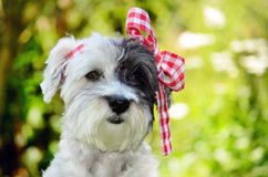 Fashionable dog with red ribbon Stock Images