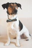 Fashionable Jack Russel terrier. Wear bow tie Stock Photos