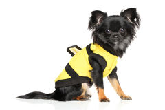 Fashionable Long-Haired Chihuahua. Long-Haired Chihuahua in fashionable dog clothes on white background stock photo