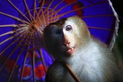 Fashionable macaque Royalty Free Stock Image