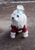 Fashionable Maltese dog Stock Photo